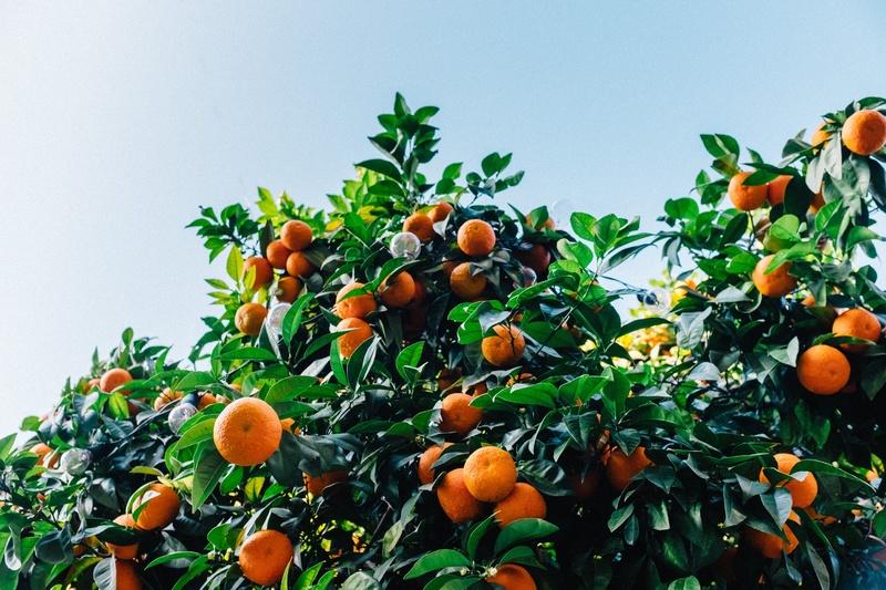 Sering tertukar! Ini cara membedakan jeruk keprok dan siam