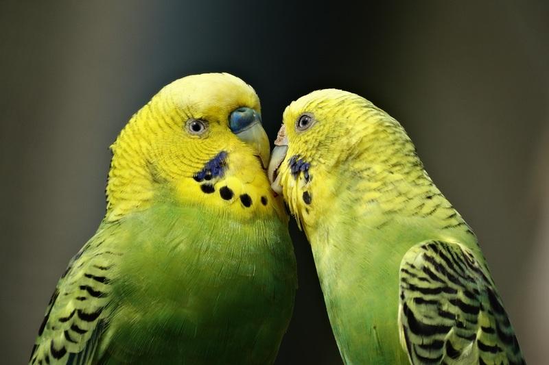 Perbedaaan Suara Burung Sirtu Gacor dan Burung lainnya