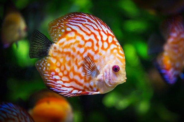 Jenis Ikan Yang Hidup Di Darat Dan Mampu Bermigrasi