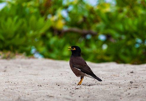 Mynah Bird: Bird Species Profile