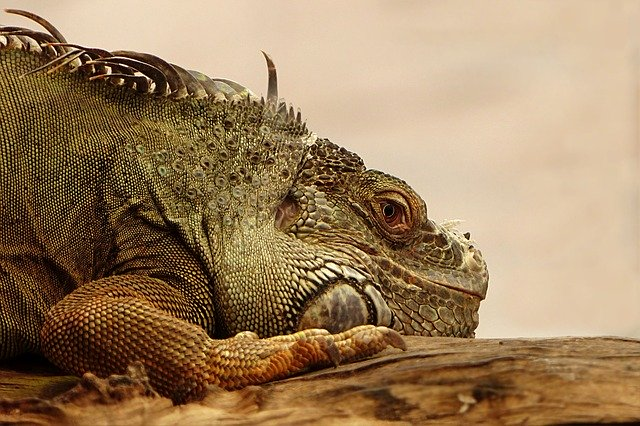 Makanan Iguana