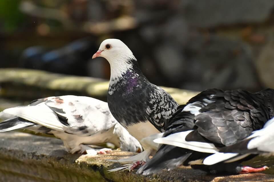 Manfaat Burung Merpati Untuk Mendapatkan Penghasilan