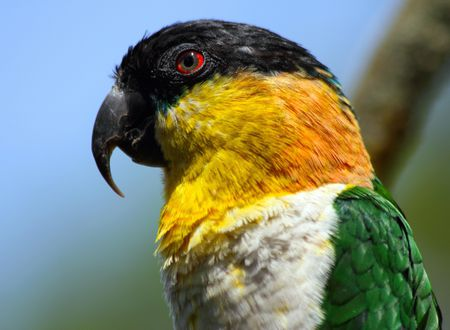 Caique: Bird Species Profile